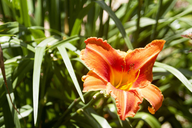 Close-up of orange lily blooming in park