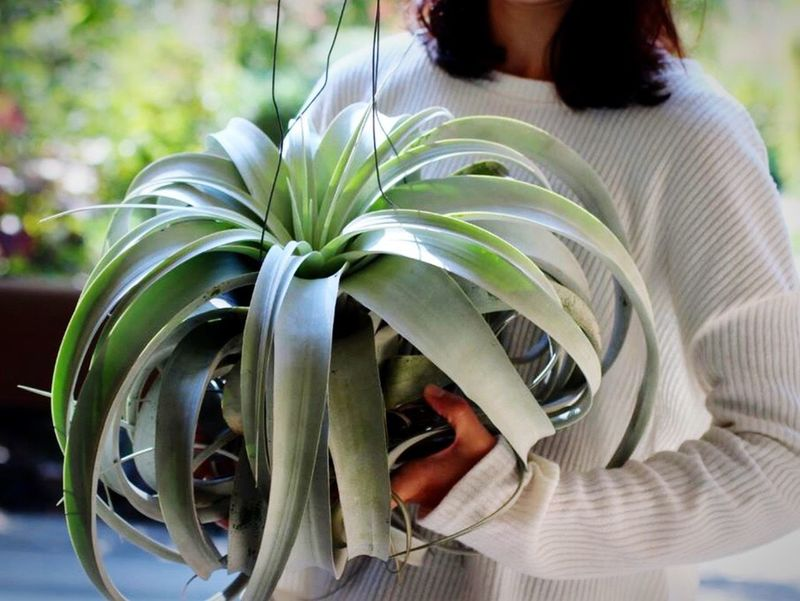 Tillandsia xerographica. Huge! Tillandsia Airplants Xerographica Huge!! Plants Iloveplants