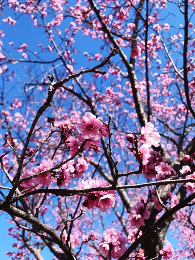 Never loved pink but sakura flowers, now that is an exception. Walking under these trees, with their petals falling on your shoulder, it's mesmerising. Only this moment makes me feel that pink is the best colour. Pink Color Flower Flowering Plant Branch Plant Tree Beauty In Nature Blossom Fragility Freshness Growth Springtime Nature Day Sky Petal Twig