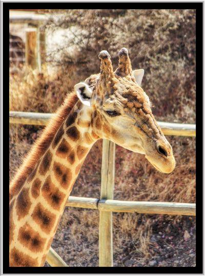 Giraffe Giraffes Giraffe♥ Giraffe ♡ Giraffes! Head Of Giraffe Giraffe Head Wildlifephotography Wildlife & Nature Wildlife Wildlife Closeup Wild Life Head Of Giraffe Giraffe Head Wildlife Close Up