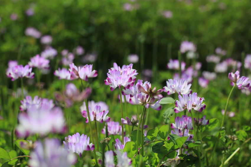 畑のレンゲ Flowering Plant Plant Fragility Vulnerability  Freshness Purple Pink Color Nature