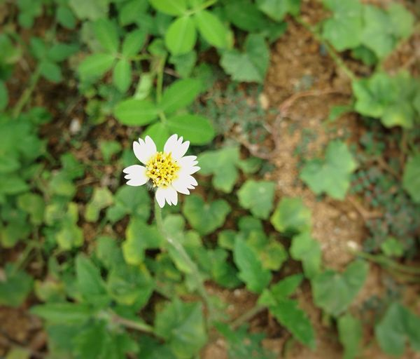 Tridax Asteraceae Flower Collection Solo Shot Solitary Beautiful Simple Moment Small Flowers Creeping Wildplant Anywhere Grows IPhone Photography