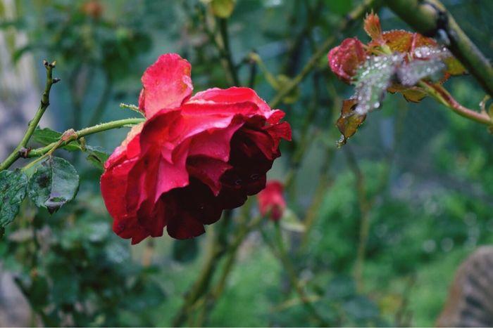 Rose - Flower Nature