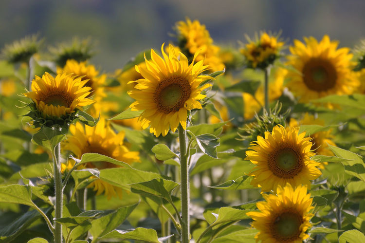 Beauty In Nature Casentino Close-up Day Flower Flower Head Focus On Foreground Fragility Freshness Girasoli Growth Nature No People Outdoors Petal Plant Sunflower Toscana Yellow