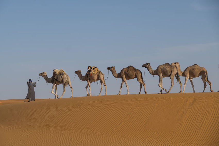 Camel Caravan is crossing the Sahara desert in soft afternoon light Scenics - Nature Nature Arid Climate Landscape Vertebrate Medium Group Of Animals Copy Space Climate Beauty In Nature No People Herbivorous Outdoors Herd Camel Caravan Mammal Animal Themes Sky Land Group Of Animals Animal Desert Sand Camel Domestic Animals Clear Sky