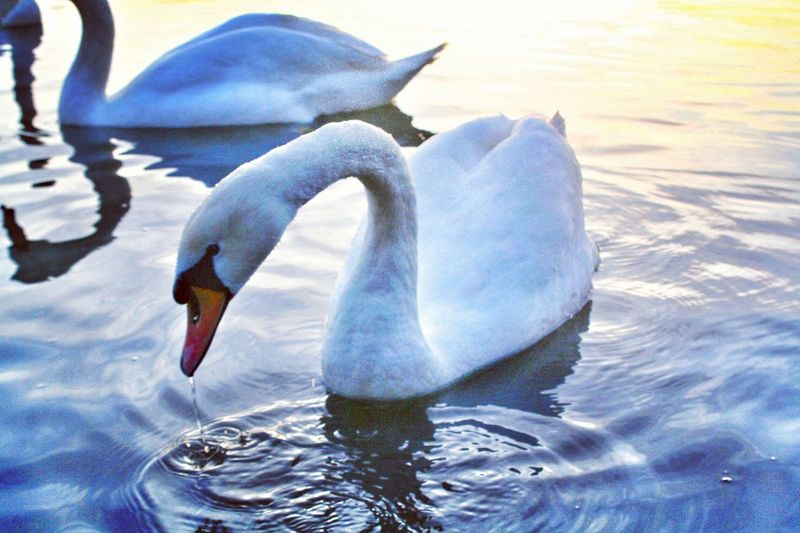 Water Bird Sea Animal Themes Outdoors Nature Animals In The Wild Beak No People Day Rippled Waterfront Floating On Water Swimming Beauty In Nature Pelican Close-up Sky Swan