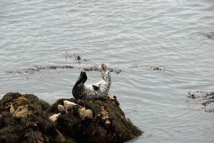 View of seal on rock
