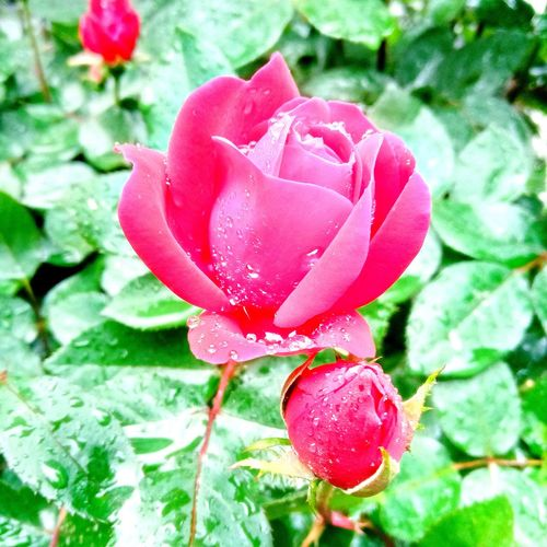 beautiful rose in the rain Flower Head Flower Petal Rose - Flower Springtime Red Heart Shape Close-up Blooming Plant Wild Rose Rosé Plant Life Blossom Spring Delicate Pink Dew Stem Bud In Bloom Botany Stamen