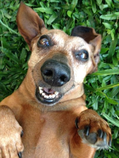 who said dogs can´t smile? Close-up Cute Cute Pets Cutedog Dachshund Dachshundlove Dachshundlovers Dachshunds Dachshundsofeyeem Dachshundsofinstagram Dog Domestic Animals FUNNY ANIMALS Funnydogs Looking At Camera One Animal Pets Portrait Smiling Smilingdog