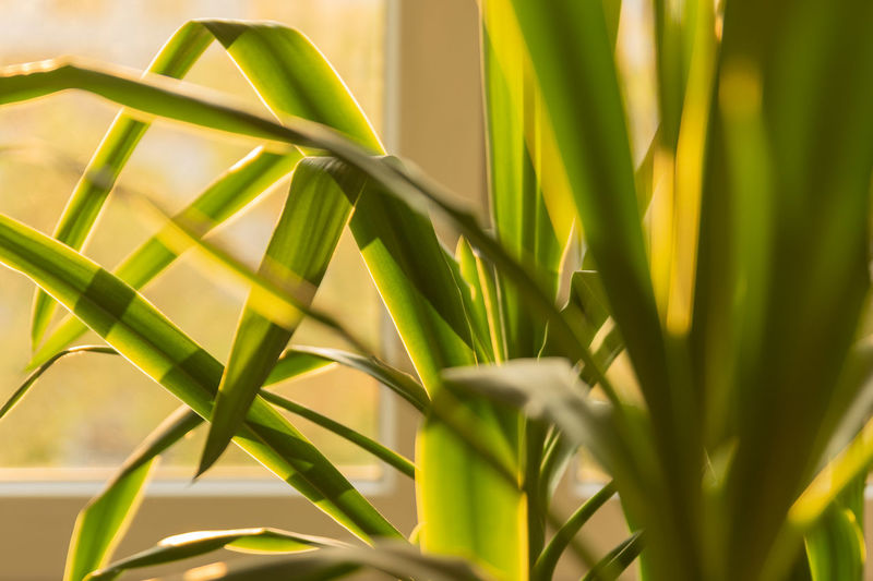 Bamboo - Plant Beauty In Nature Blade Of Grass Close-up Day Focus On Foreground Freshness Grass Green Color Growth Leaf Nature No People Outdoors Palm Leaf Plant Plant Part Selective Focus Sunlight Tranquility Yellow