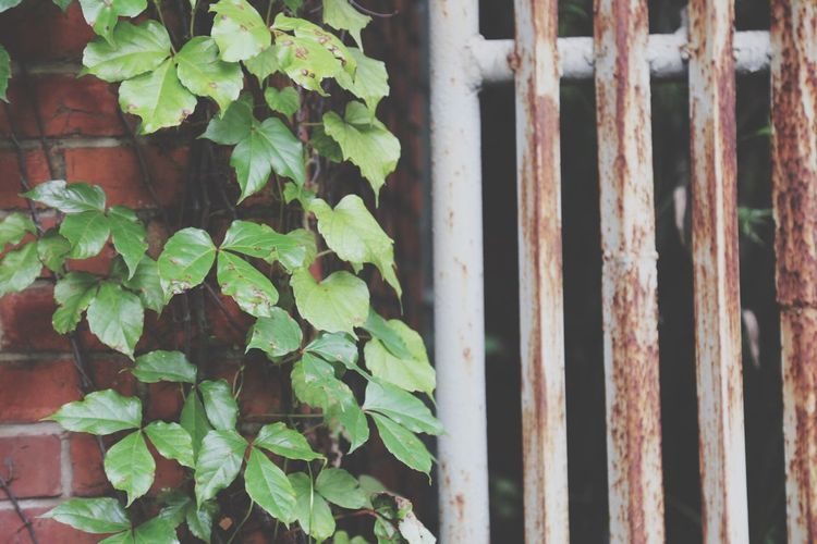 Close-Up Of Creeper Plant Growing On Wall By Metallic Gate