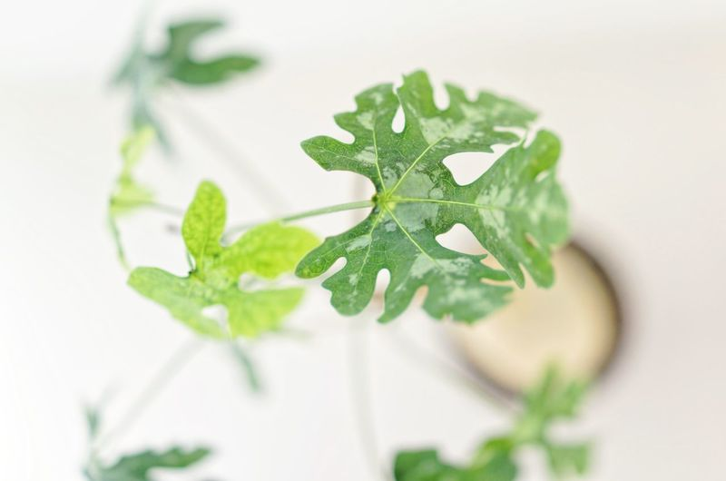 Leaf Green Color Plant Part Close-up Plant Herb Nature Beauty In Nature White Background Selective Focus Mint Leaf - Culinary Studio Shot Indoors  Food And Drink No People Botany Food Freshness Growth High Angle View