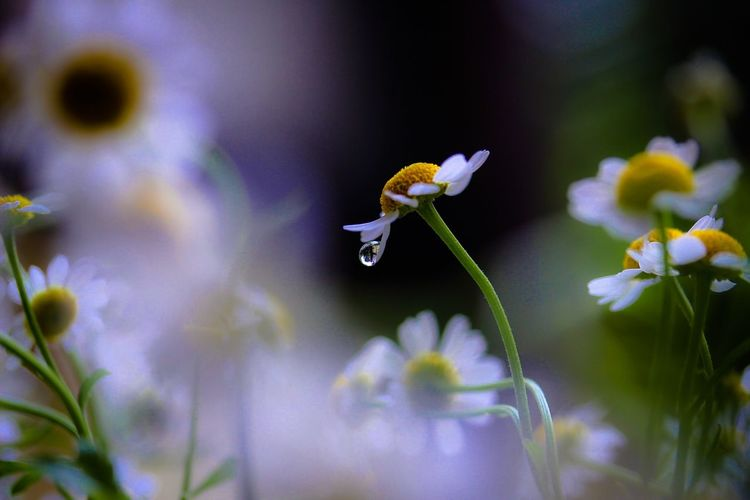I will cry secretly alone Flower Macro EyeEm Nature Lover Beautiful Nature Light And Shadow Waterdrops Tears Getting Inspired Secret EyeEm Gallery