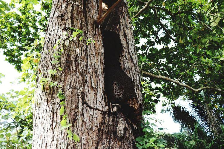 comejen Tree