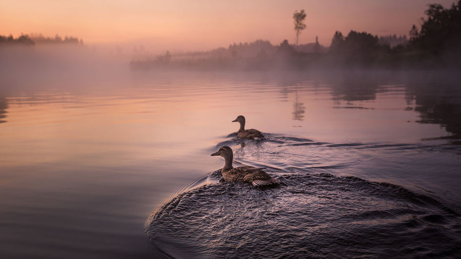 Ducks swimming at lake during sunset