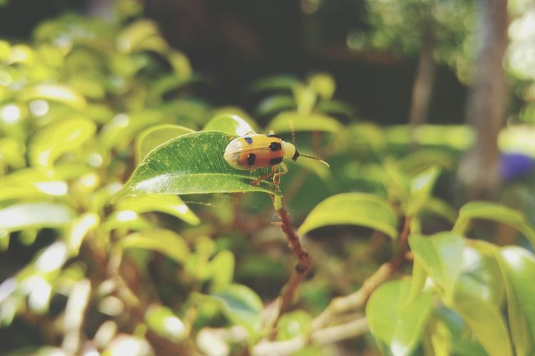 Insect One Animal Animal Wildlife Animals In The Wild Animal Themes Leaf Nature Day Outdoors No People Plant Summer Close-up Full Length Ladybug Freshness