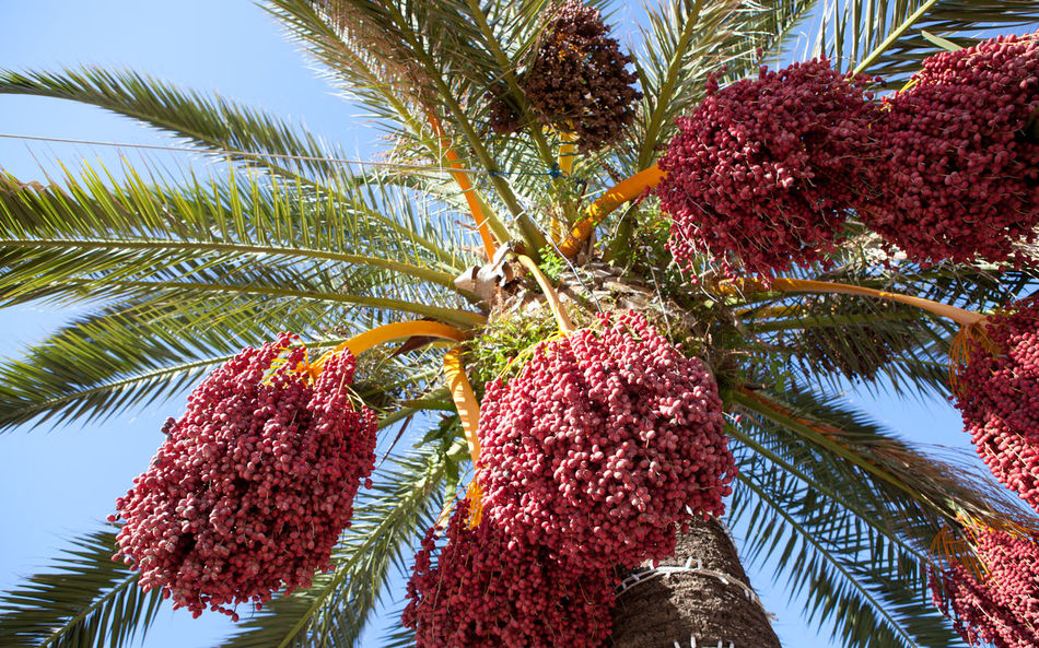 Beauty In Nature Close-up Date Day Food Freshness Fruit Growth Healthy Eating Low Angle View Nature No People Outdoors Palm Tree Sky Tree