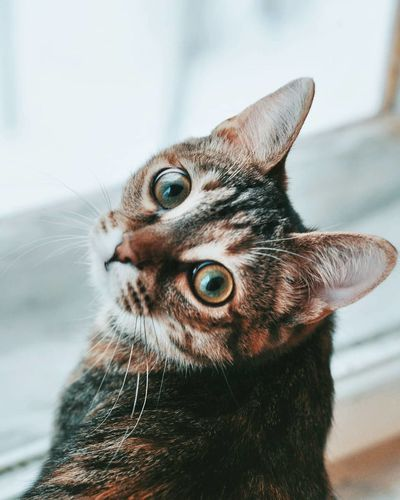 Cat Cats The Week on EyeEm Pets One Animal Domestic Animals Portrait Animal Themes Looking At Camera Domestic Cat Whisker Animal Head  Mammal No People Ear Indoors  Close-up