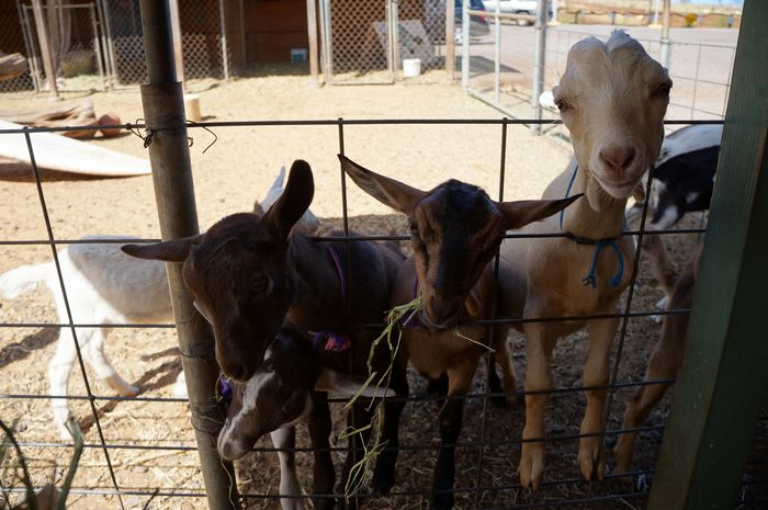 Three Goats Animal Pen Animal Themes Cow Dog Domestic Animals Fence Herbivorous Horse Livestock Looking At Camera Mammal One Animal Pets Portrait Stable Standing Togetherness Two Animals Working Animal Zoology