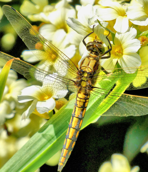 Dragonfly Insect Feeding On A Flow Battersea Park Beauty In Nature British Insects Close-up Flower Flower Head Fragility Gossamer Wings Insect Insects  Odonata Odonata On Plant Plant Transparent Wings