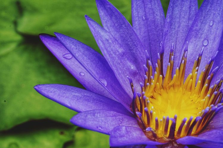 The purple lily