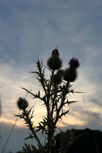 Beauty In Nature Close-up Cloud - Sky Eye4photography  Growth Low Angle View Nature No People Outdoors Plant Sky Sunset Thistle Tranquility EyeEm Best Shots