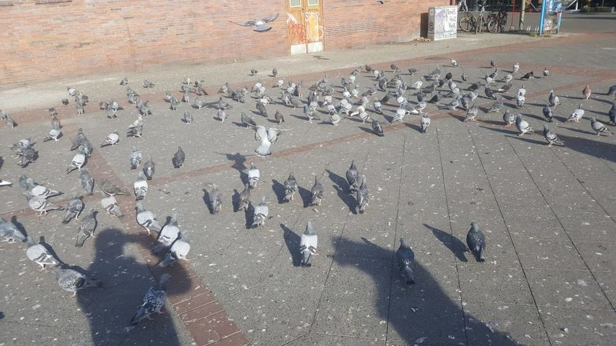 Bird Vertebrate Animals In The Wild Animal Themes High Angle View Animal Wildlife Animal City Shadow Group Of Animals Day Pigeon Street Transportation Real People Sunlight Nature Flock Of Birds Flying Outdoors Flapping