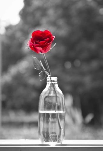 Rose Flower Vase Petal Focus On Foreground Fragility Red Flower Head Nature Beauty In Nature Freshness Rose - Flower Close-up No People Day Blooming Outdoors