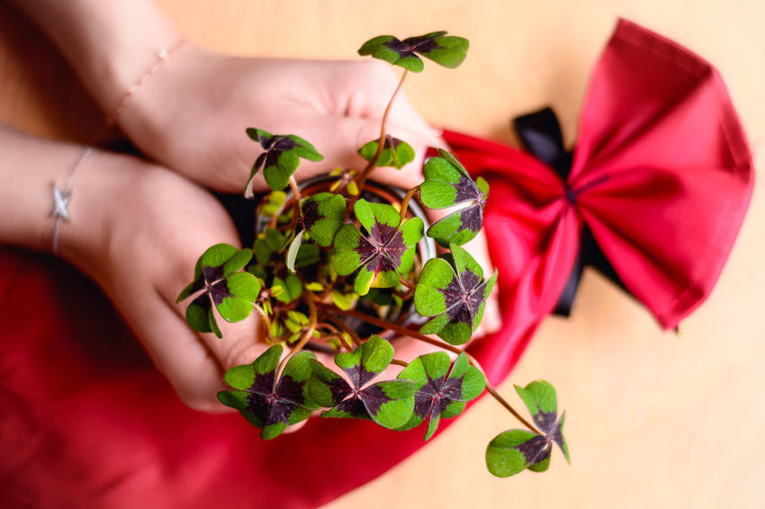 Hi everybody! Wish you all a happy New Year and best of luck and happiness for 2018! Happiness Luck Beauty In Nature Close-up Flower Flower Head Food Four Leaf Clover Fragility Freshness Gesture High Angle View Holding Holding A Flower Human Body Part Human Hand Indoors  Leaf Lifestyles One Person Plant Real People Red Symbol Together
