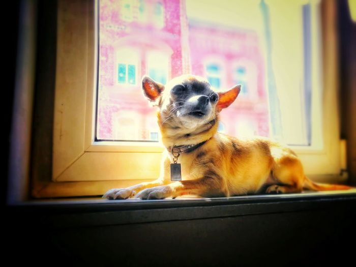 Lilly-Fee Lione Leica Huaweip10 EyeEm Selects Pets Dog Window Cute Protruding Close-up Chihuahua - Dog Small Puppy