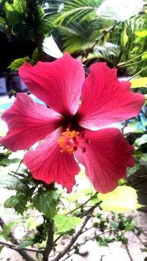 Flower Head Hibiscus Fragility Day Stamen first eyeem photo