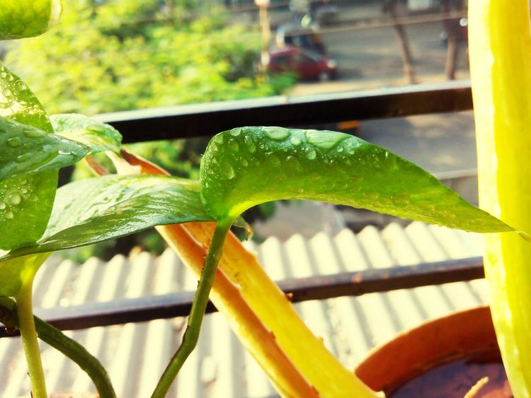 Pastel Power Naturepower Homegardening Droplet Water Moneyplant First Eyeem Photo EymEm Nature Lovers Eym Best Shots Eym EYMTYM Love ♥ :D :')