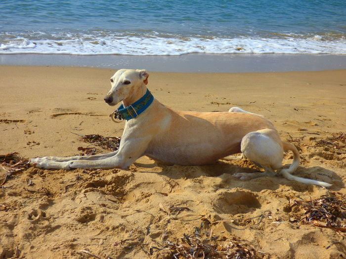 Greyhound relaxing on sand at beach