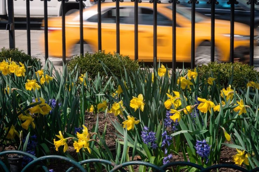 Yellow Flower Outdoors No People New York City Tourism New York Travel Destinations Newyorkphotography Nature Beauty In Nature Flowerbed Freshness Multi Colored Blooming NYC CAB Taxi EyeEm Best Shots EyeEmNewHere
