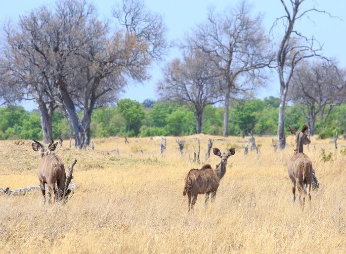 Animal Wildlife Animal Animals In The Wild Animal Themes Mammal Nature No People Day Tree Group Of Animals Grass Field Landscape Outdoors Herbivorous Greater Kudu Safari Antelope Wildlife Photography Animals In The Wild