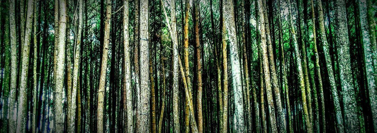 Forest WoodLand Pinetrees Pinewoods Yogyakarta,indonesia Imogiri Fotooftheday Beauty In Nature Outdoors The Great Outdoors - 2016 EyeEm Awards Travelphotography Enjoying Life EyeEm Best Shots Hello World Hi!