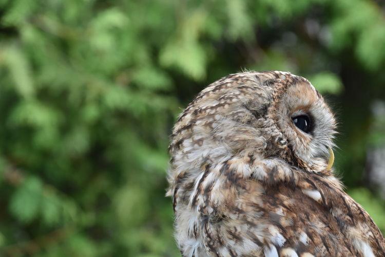 Close-up portrait of owl or screech owl