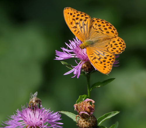 Argynnis paphia (Kaisermantel) Argynnis Paphia Bee 🐝 Best Shots Nature Kaisermantel Animal Wildlife Animals In The Wild Beauty In Nature Bee Butterfly Butterfly - Insect Close-up Day Flower Flower Head Growth Insect Nature No People One Animal Outdoors Plant Purple Spread Wings Two Animals