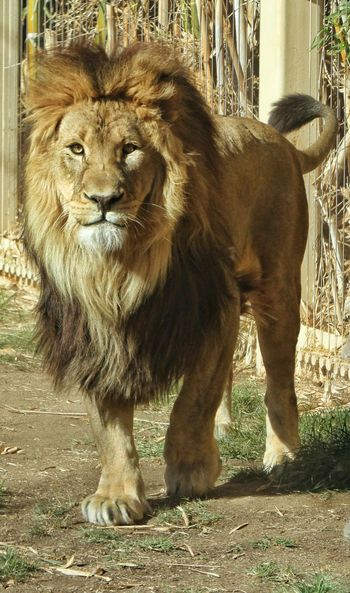 Lion King. Lion Liosnapshot Lion King  Zoo Zoo Animals  Zoophotography Big Cat Animal Photography