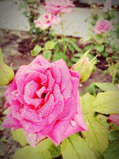 Rose First Eyeem Photo