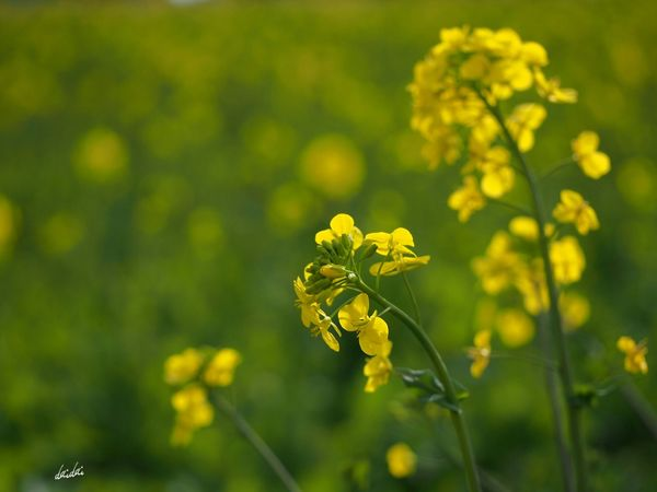 見守る姿 E-PL3 Rape Flower Yellow No Edit/no Filter Spring