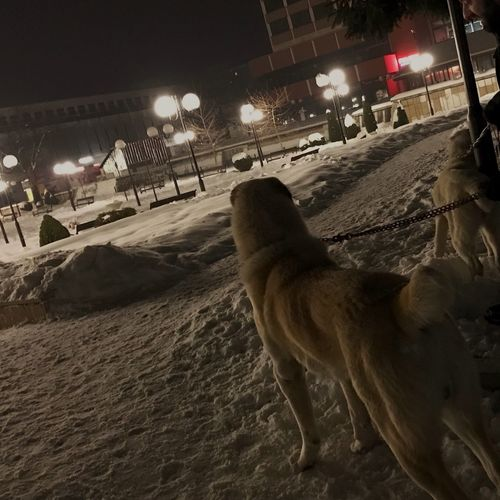 Animal Themes Domestic Animals Mammal Cold Temperature Winter One Animal Snow Dog Pets Transportation Night Illuminated Built Structure No People Outdoors Architecture Nature Alabai