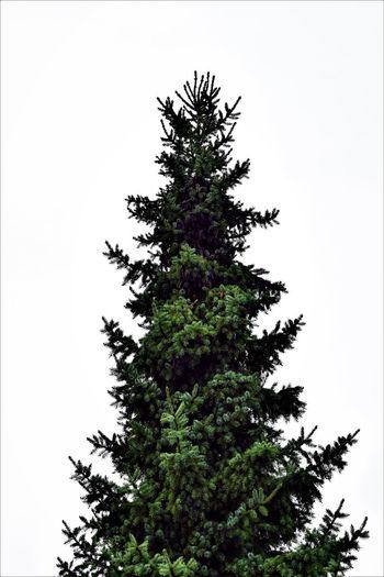 Pine Tree /