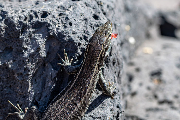 Female la palma wall lizards, gallotia galloti palmae, on volcanic rock