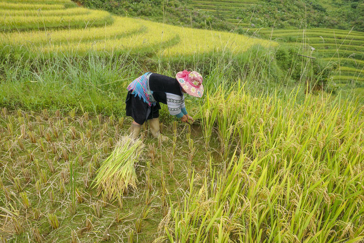 Harvesting paddy in rice terrace at Mu Cang Chai, Vietnam. Plant Field Grass Growth Land Green Color Real People Landscape Nature One Person Day Farmer Beauty In Nature Outdoors Farm Rural Scene Agriculture Environment Crop  Lifestyles