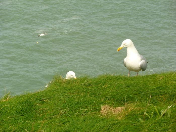 Seagull, United