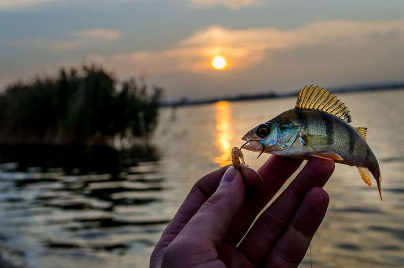Cropped Hand Holding Fish In Hook Against Lake During Sunset
