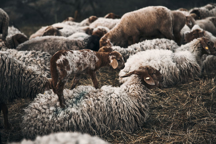 Sheep and lamb on grass