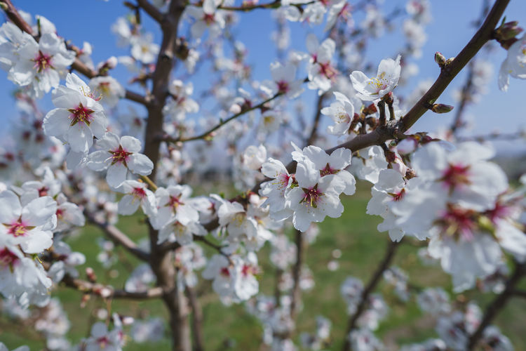 Flower Flowering Plant Blossom Fragility Freshness Plant Vulnerability  Growth Branch Tree Beauty In Nature Springtime Cherry Blossom Close-up Nature Day Twig No People White Color Focus On Foreground Cherry Tree Pollen Outdoors Flower Head Spring