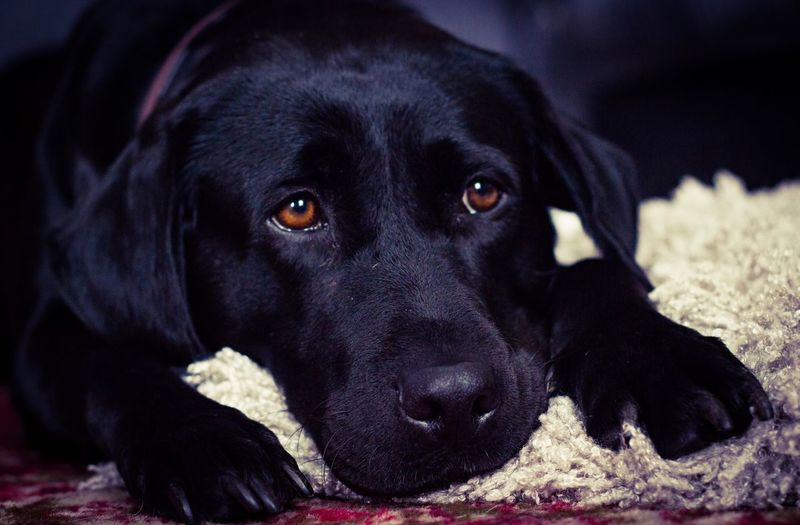 Dog Pets Black Color Domestic Animals One Animal Animal Themes Mammal Lying Down Black Labrador Portrait Close-up Looking At Camera Labrador Retriever No People Relaxation Indoors  Day Black Labrador